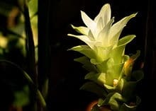Protandim pret antioxidant natural turmeric floare Protandim Romania